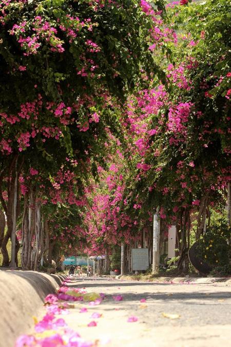 Hai hàng hoa giấy trên đường Bạch Thái Bưởi, Nha Trang.
